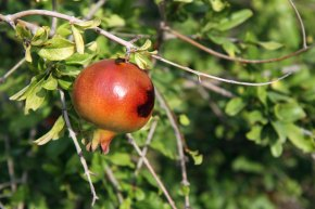 pomegranate on tree
