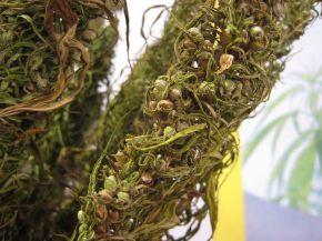 800px-Hemp_bunch-dried_out_-seeds_close_up_PNr°0063