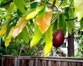 752px-Avocado_tree_next_door