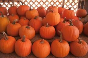 pumkins-on-a-pumpkin-patch